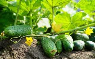 Какие огурцы самые урожайные для открытого грунта