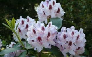 Почему не цветет рододендрон: причины, что делать, сроки цветения