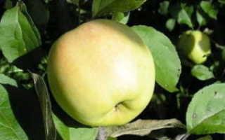 Яблоня Северная зорька: описание сорта, фото, посадка, уход и отзывы садоводов