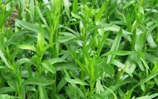 Трава Тархун (Эстрагон): как называется по-другому, как выглядит, описание, фото, как использовать в кулинарии, в консервации