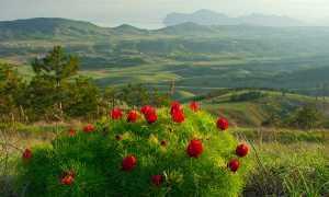 Горный пион: фото и описание растения из Красной книги, где растет