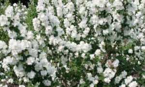 Когда цветет чубушник (садовый жасмин): сколько цветет, на каких побегах, на какой год после посадки,