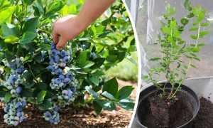 Голубика садовая: посадка и уход саженцами, фото, отзывы, место для посадки, как правильно посадить, как