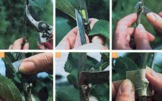 Прививка грецкого ореха: 2 самых эффективных способа, размножение черенками