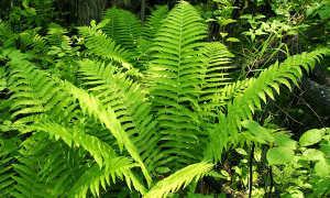 Чем полезен папоротник для человека: для женщин, для мужчин, лечебные свойства корней, стеблей, в еде,