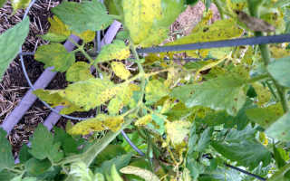 Почему желтеют листья помидор в открытом грунте