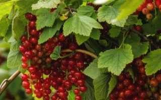 Когда нужно поливать смородину: полив весной, летом и осенью