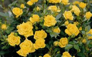 Миниатюрные розы: сорта с фото