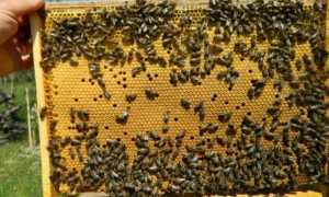 Пчелы в сентябре, в августе: уход за пчелами, обработка, лечение, сокращение гнезда, постановка вощины