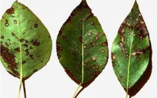 Парша груши: описание, препараты, меры борьбы осенью, летом