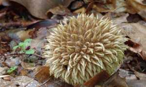 Дождевик ежевидно-колючий (ежовый, Lycoperdon echinatum): как выглядит, где и как растет, съедобный или нет