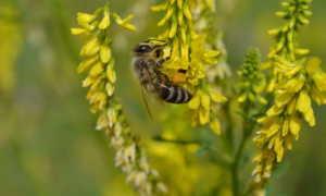 Цветы медоносы: фото и названия