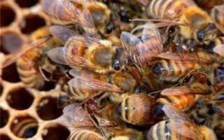 Болезни пчел и пчелиного расплода, лечение и отзывы пчеловодов