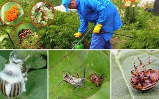Колорадский жук: борьба с ним народными средствами