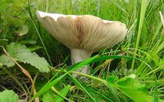Ложносвинуха: фото и описание гриба, сбор и употребление