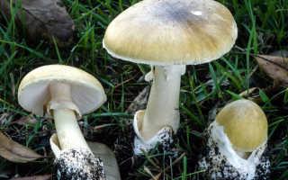 Сыроежки: фото съедобных и несъедобных грибов, как отличить, описание