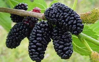 Шелковица черная: описание, польза, выращивание и уход, фото