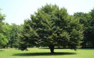 Бук европейский (лесной): описание, где растет, как вырастить, фото