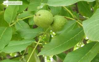 Листья грецкого ореха: лечебные свойства, рецепты, применение, противопоказания