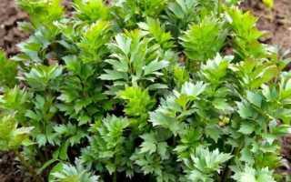 Любисток: полезные свойства и противопоказания, выращивание и уход