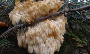 Ежовик альпийский (Гериций альпийский, приальпийский, Hericium flagellum): как выглядит, где и как растет, съедобный или нет