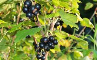 Посадка смородины весной саженцами: как выбрать, когда и как сажать, видео