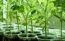 Когда сеять помидоры на рассаду в Сибири