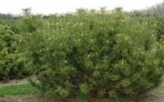 Горная сосна Пумилио: описание, размеры, посадка и уход, размножение