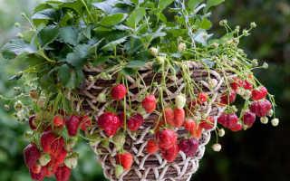 Выращивание клубники в ящиках, ведрах на улице