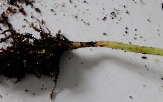 Черная ножка у рассады томатов: что делать