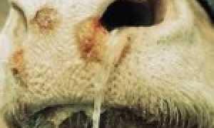 Почему у теленка (коровы) пена изо рта: что делать, чем лечить