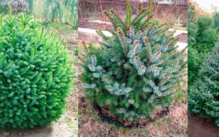 Ель сербская Нана (Picea Omorika Nana): описание, фото, отзывы
