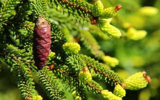 Ель восточная (Picea orientalis): описание, фото, отзывы