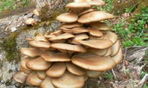 Ложные вешенки: бывают ли, как отличить съедобные и несъедобные грибы