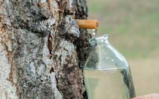 Берёзовый сок: когда и как собирать в этом году
