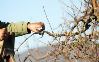 Как правильно обрезать старую яблоню весной + схема