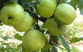 Посадка яблони осенью в средней полосе России