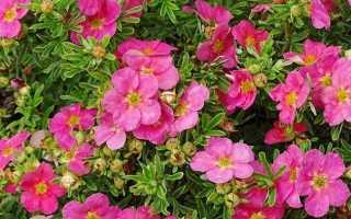 Лапчатка Белиссимо (Bellissima): описание, посадка и уход, отзывы