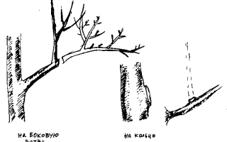 Обрезка яблони в Сибири осенью для новичков