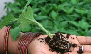 Черенкование хризантем весной: когда проводить, как подготовить и сохранить черенки