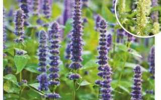 Лофант: виды, выращивание и уход, болезни и вредители