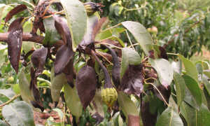 Чернеют листья на груше: что делать, фото, как бороться