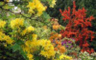 Рододендрон понтийский: описание, посадка и уход, фото