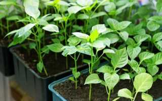 Как посадить перец на рассаду правильно + видео