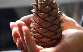 Где растут кедровые орехи, когда собирают и как добывают