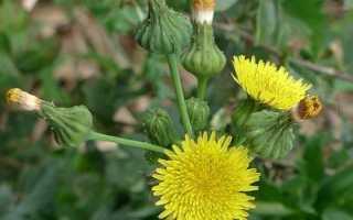 Осот на огороде и в саду: способы борьбы с сорняком
