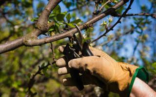 Обрезка вишни летом: можно ли обрезать, как правильно делать