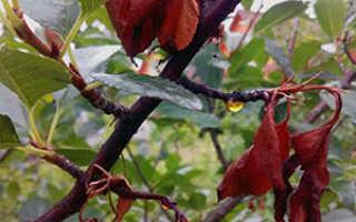 Монилиоз вишни: как лечить монилиальный ожог весной, летом