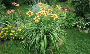 Как посадить лилейник весной: выбор саженца, подготовка грунта, уход за ростками