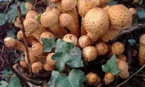 Чешуйчатка разрушающая (Pholiota populnea): как выглядят грибы, где и как растут, съедобны или нет